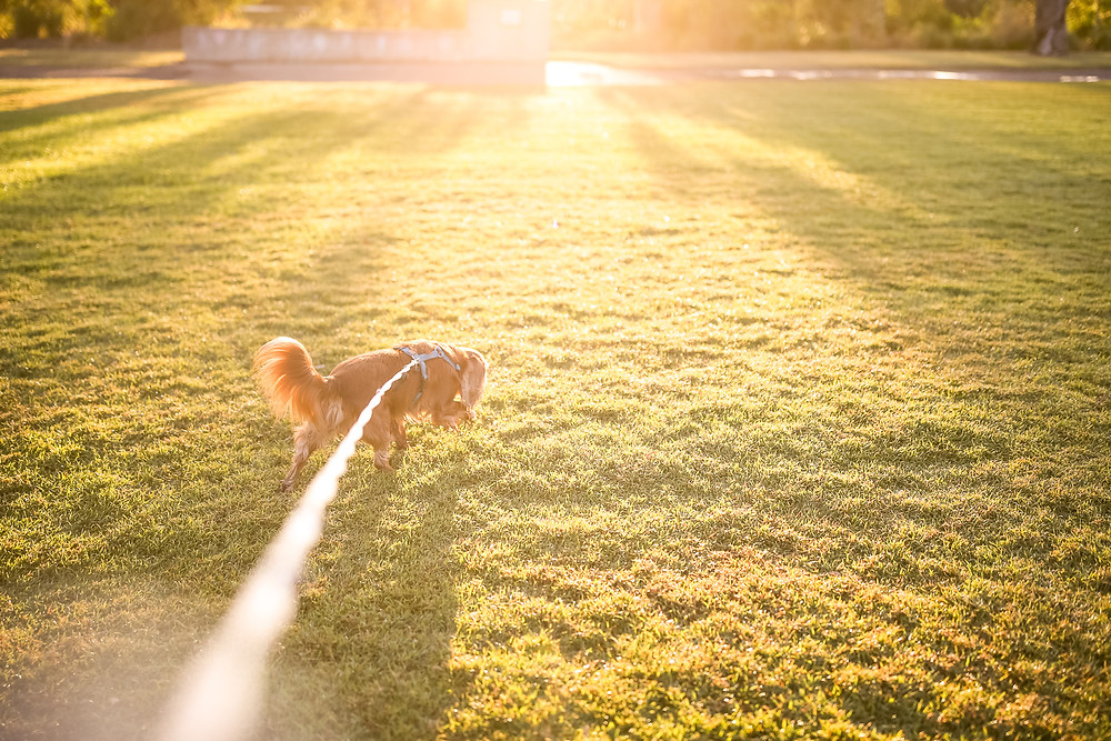 a dog wearing a harness and a 5 metre long leash sniffs the grass as he walks through a park