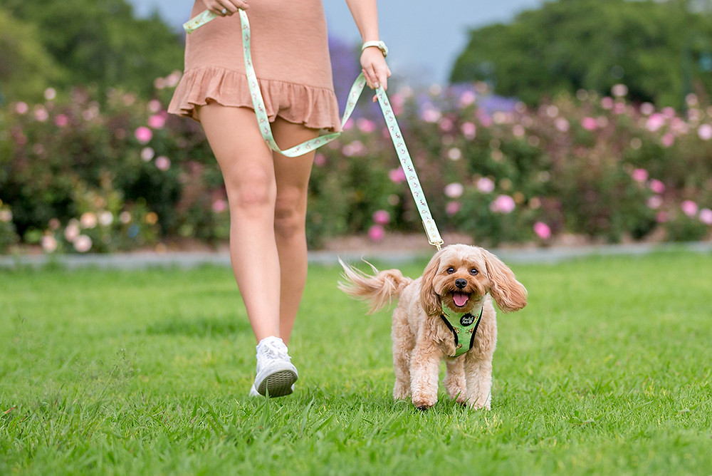 a happy cavoodle dog walks with its owner through a park with rose bushes.