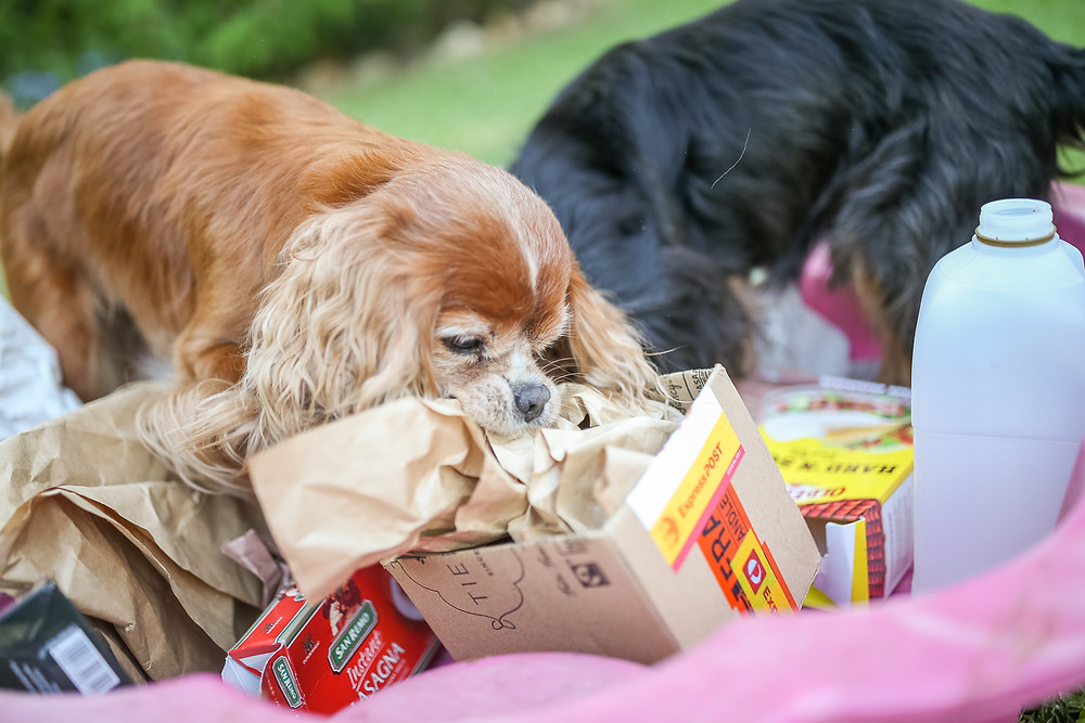 a small dog pulls scrunched up paper out of a box while searching for treats in a DIY enrichment activity