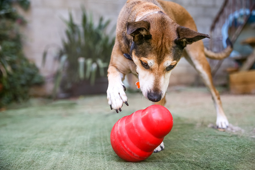 a large dog uses a kong wobbler in the backyard for enrichment