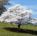 dogwood-tree.jpg