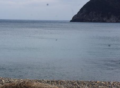 2016_対馬油汚染海鳥海鳥_シロエリオオハム