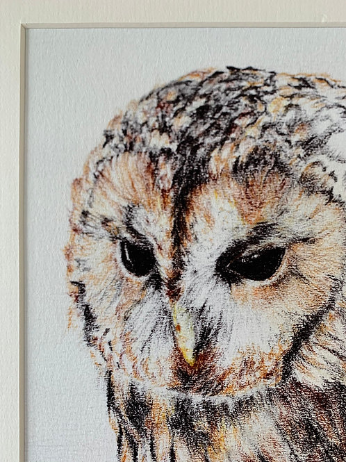 Little Owl Study Print
