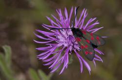 Six-spot Burnett Moth