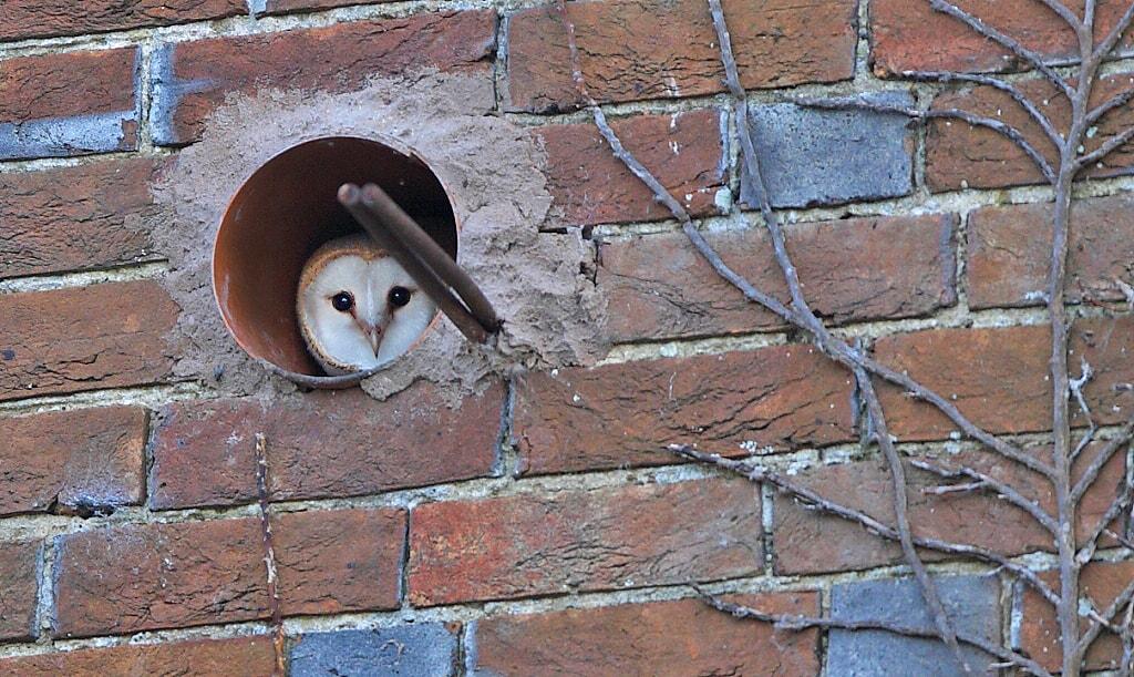 Curious Resident Barn Owl