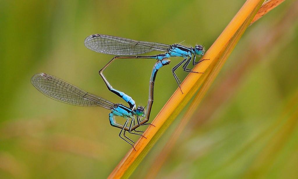 Mating Damsel Flies
