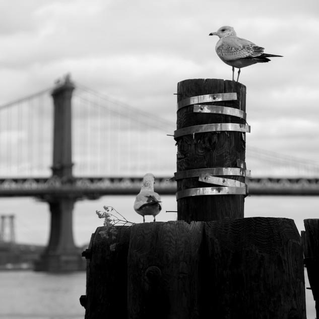 Seagull in Est River 3