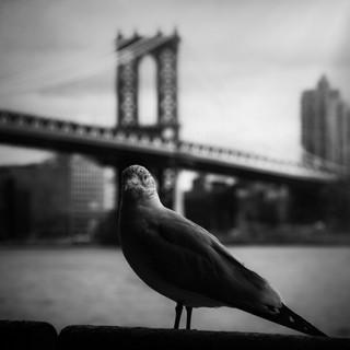 Seagull in Est River 1
