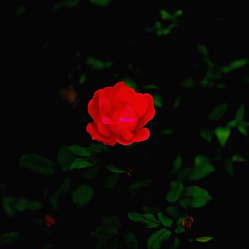 Single Rose - Thank you