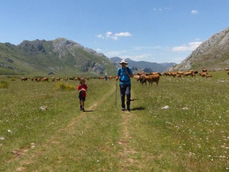 Caminando entre ganado