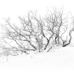 """Mt. Baldy Buried Tree"", George Kassal (Photograph Printed on Canvas)"