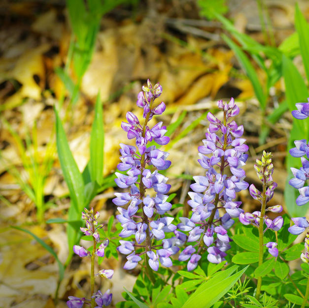"""Tolleston Dunes Lupine"", Steve Bensing (Photography)"