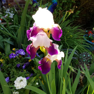 """Bloom Iris"", Carol Jeslis (Samsung s8 Cellphone)"