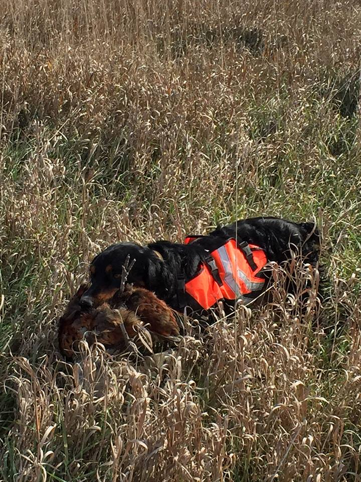 Gunner retrieving a Pheasant in SD