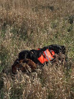 Gunner retrieving a Pheasant in SD
