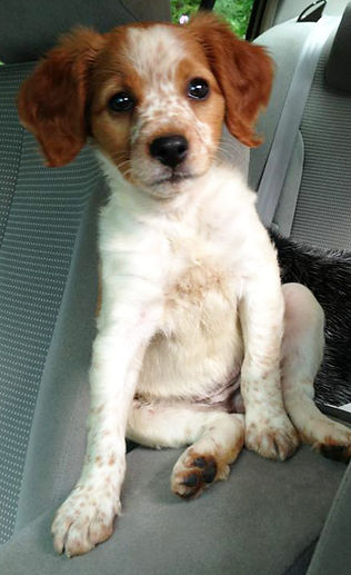 French Brittany Puppies For Sale