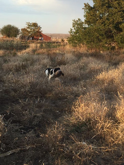 Pippy retrieving a Pheasant