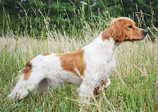 French Brittany Bird Dogs