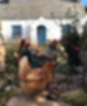 welsh cottage, chickens,
