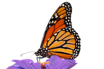 MONARCH_TR.png
