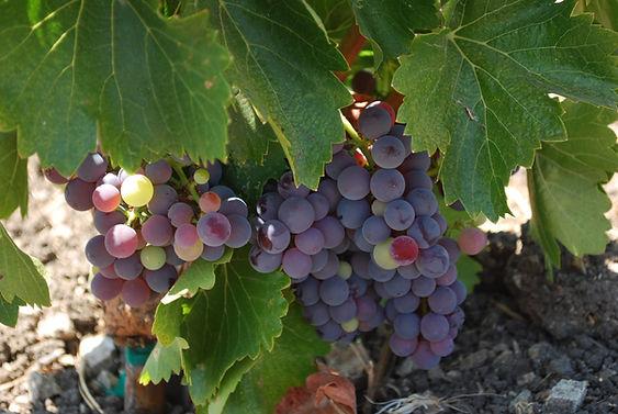 grape cluster1.JPG