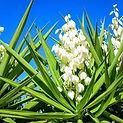 yucca-white-flower-flower-stalk-shutters