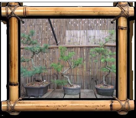 Dragon Bonsai