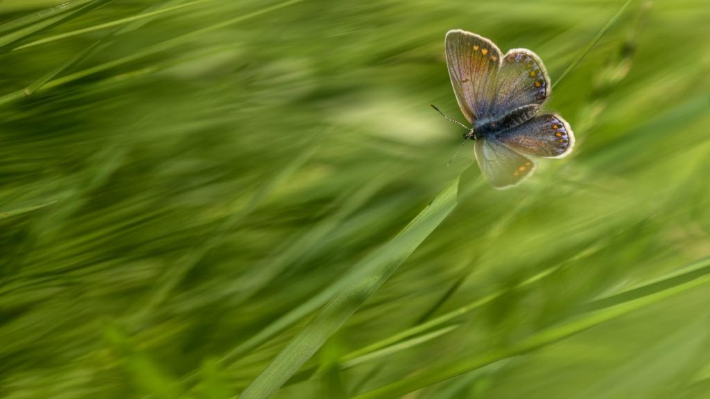©Luc Durocher, Polyommatus icarus
