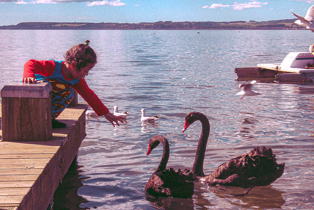 Child feeding swans at lake
