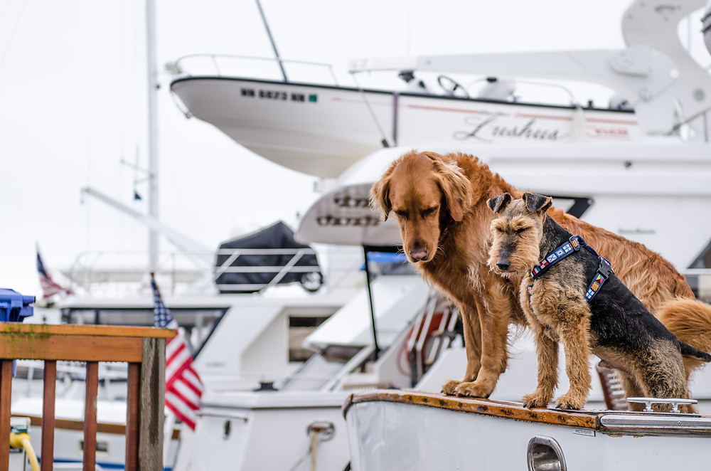 Two dogs on stern of sailboat