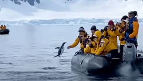 When Boating & Nature Overlap - Penguin Hops Onboard to Avoid Orcas