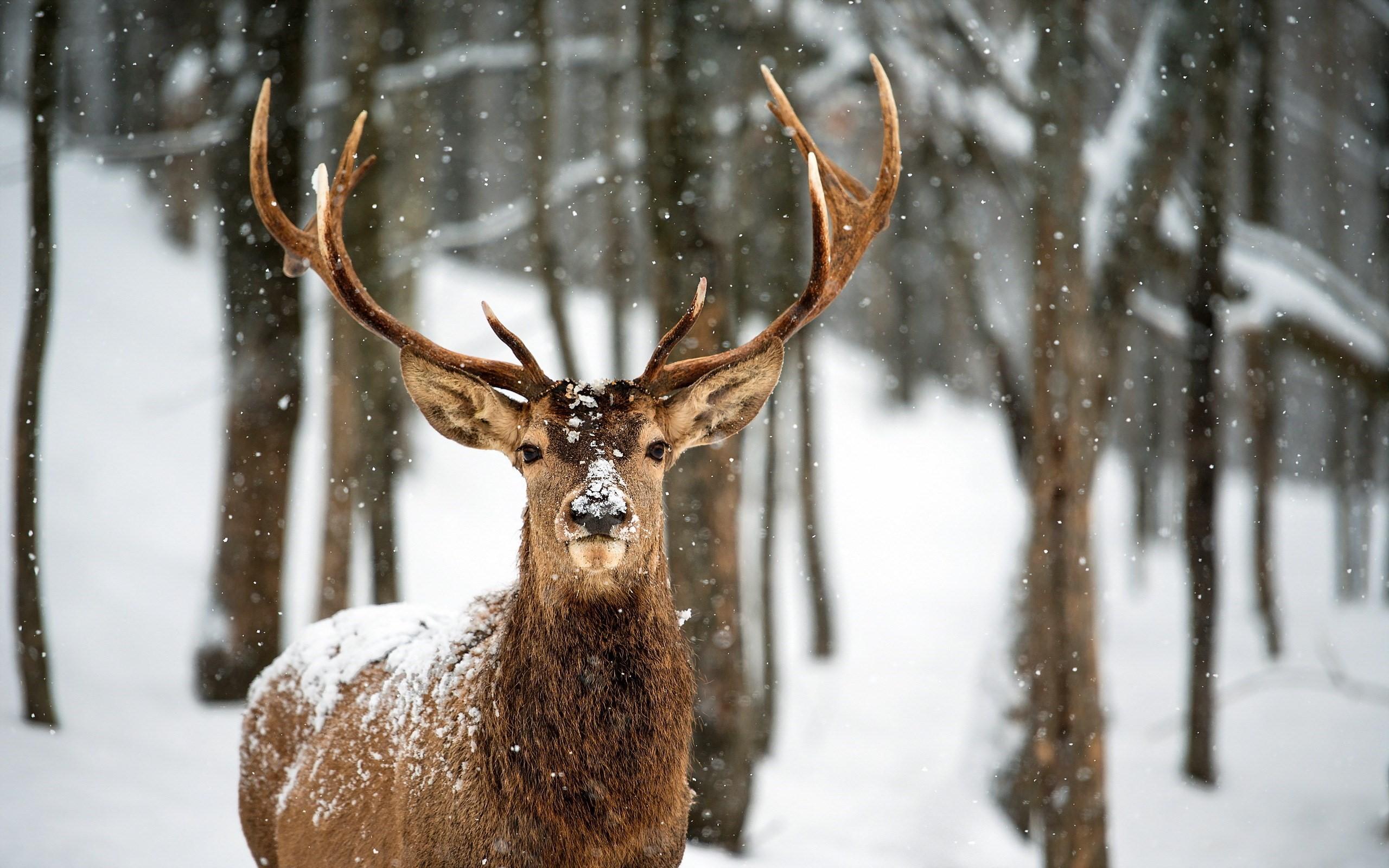 Deer-Snow-Winter-Forest