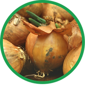 Botrytis in Onions.png