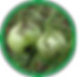 Bacterial Blight in Tomatoes.png