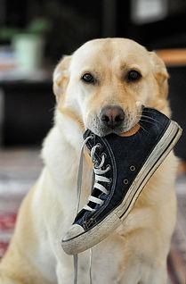 Chien voleur chaussure