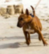 Bull Terrier tire en laisse