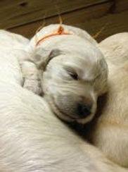 River as puppy litter 1 eadie charlie.jp