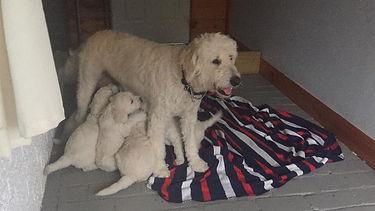 eadie feeding older pups litter 1 eadie_