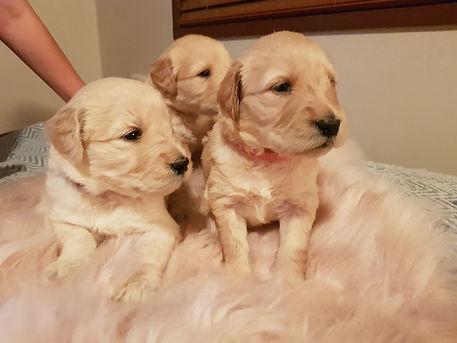Coco puppies 2.jpg
