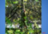 pic vert femelle 04.2020.jpg