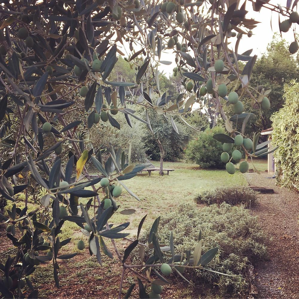 Olijfboom in onze tuin