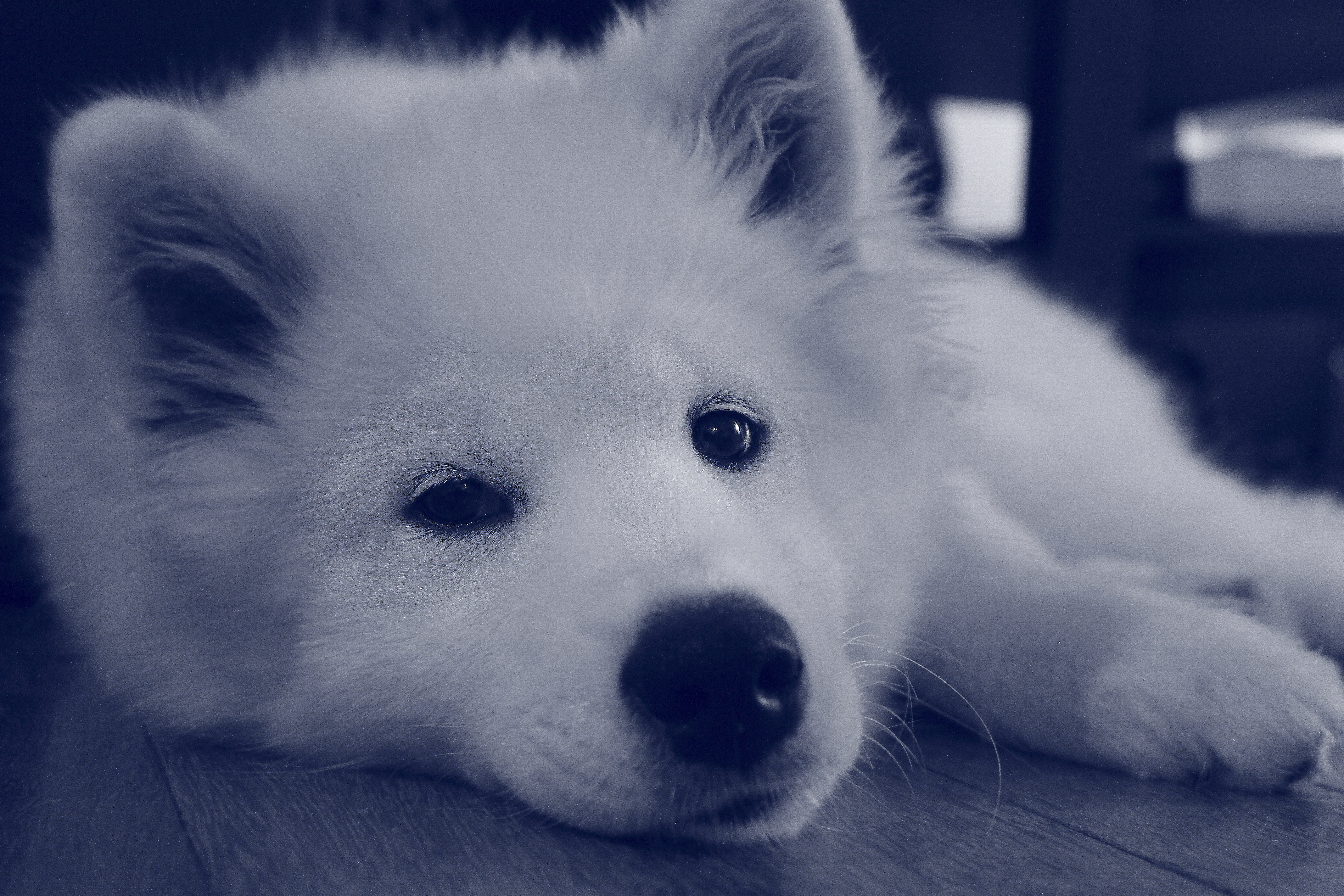 Samoyed Puppy Dog Photography