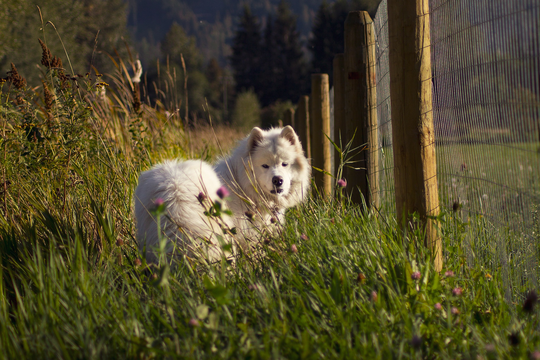 Samoyed Golden Hour Photography