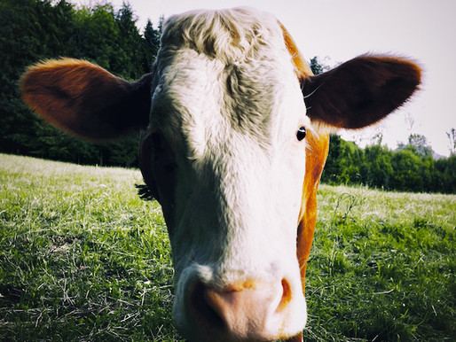Using cows to become climate neutral
