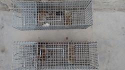 roedores5