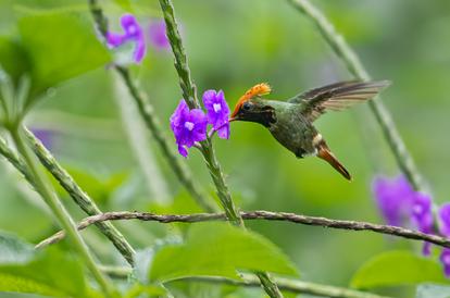 Spangled Coquette - Southern Ecuador