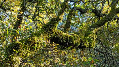 Oak Woodlands - Sonoma