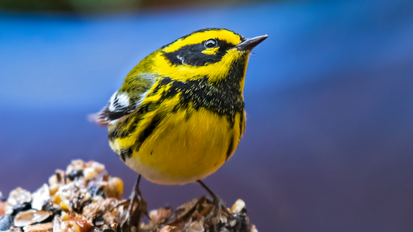 Townsend's Warbler - Sonoma