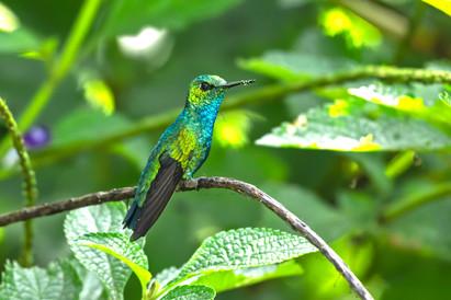 Blue Tailed Emerald - Southern Ecuador