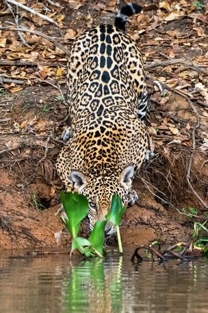 Xingu - Jaguar Drinking from the Rio Cuiaba